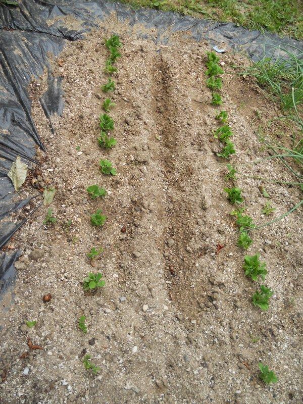 Culture petit pois pois semis et entretien truc et astuce pour le jardin - Planter les petit pois ...