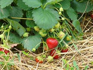 Plantation des fraisiers