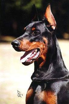 Blog de lionne94000 page 7 les chien les plus bo - Vente dobermann oreilles coupees ...
