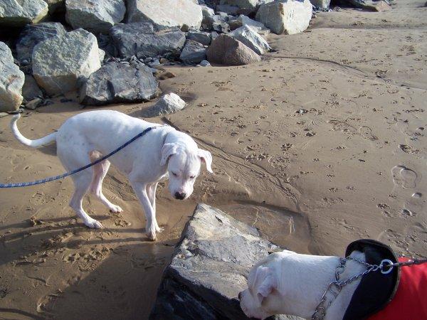il fait soleil ...petite balade a la plage avec les loulous et Exta ! Fripouille fait connaissance avec la mer !