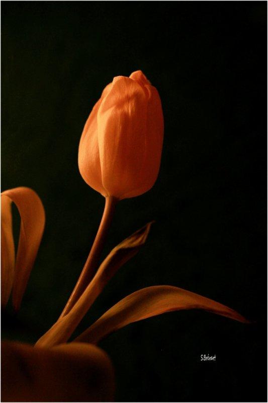 Les tulipes commencent à fleurir dans le jardin