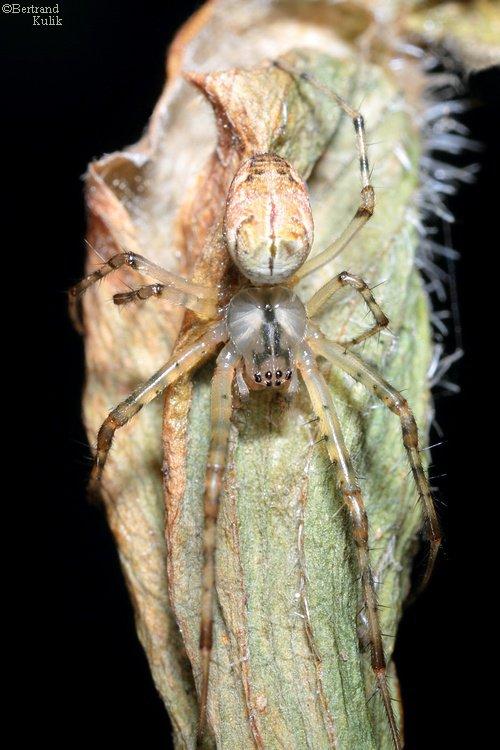 Spider spirit