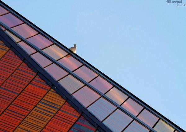 Pigeon contemporain