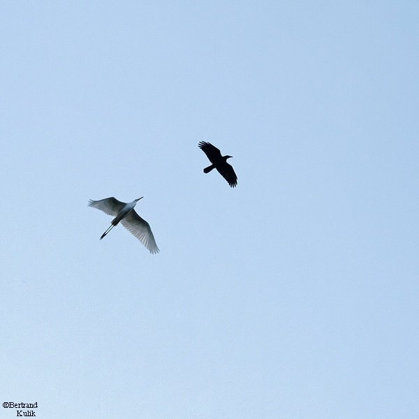 Aigrette Vs Corbeau