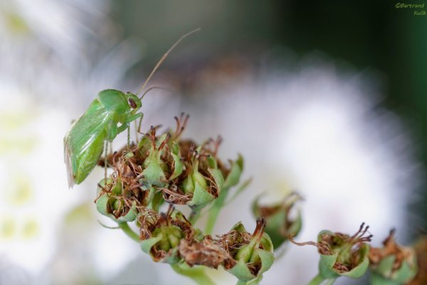 The green spor