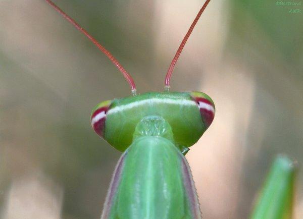 Alien mantis