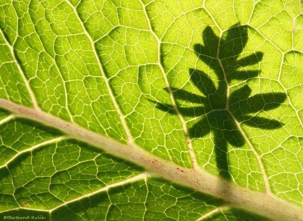 A l'ombre du parapluie végétal