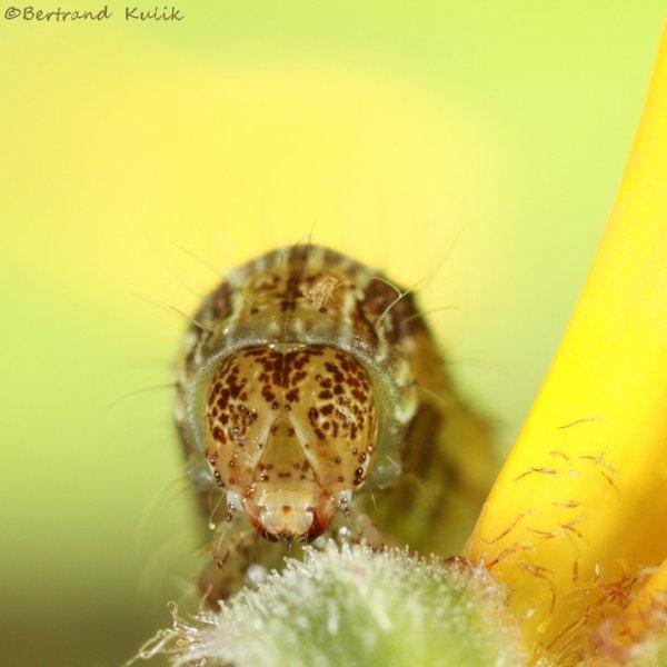 Caterpillar spirit