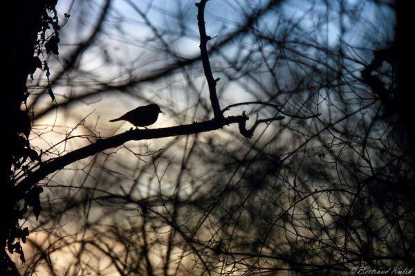 Oiseau du soir