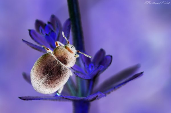 The golden Beetle