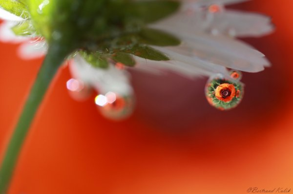 drop of poppy