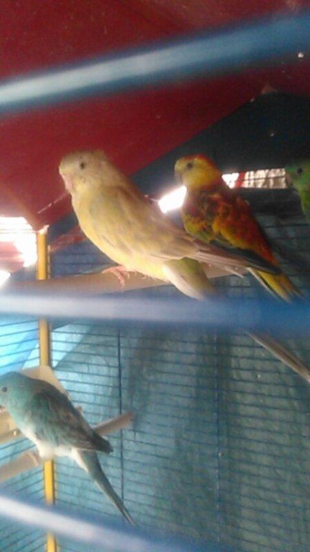 Les perruches