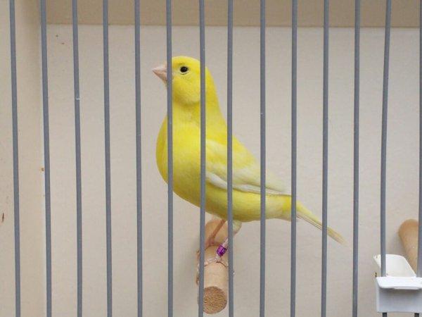 Kanarie ivoor geel intensieve pop