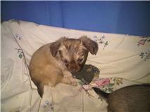 CC dans 8 jours exactement je vais avoir un un un petit chihuahua!!!!