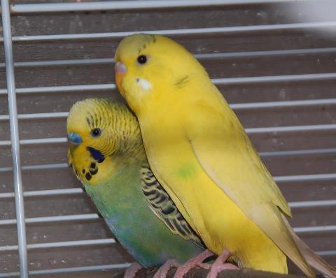 voila un beau couple de perruche