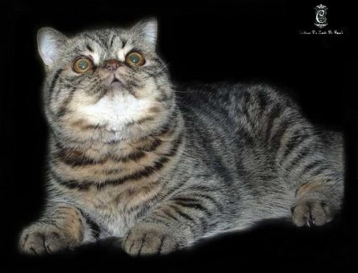 Mâle Exotic Shorthair Xennedu's Dikens Autumn