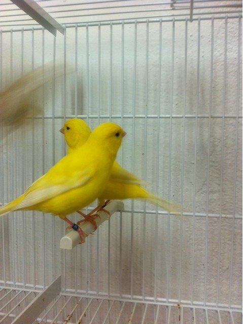 amarillos intesos