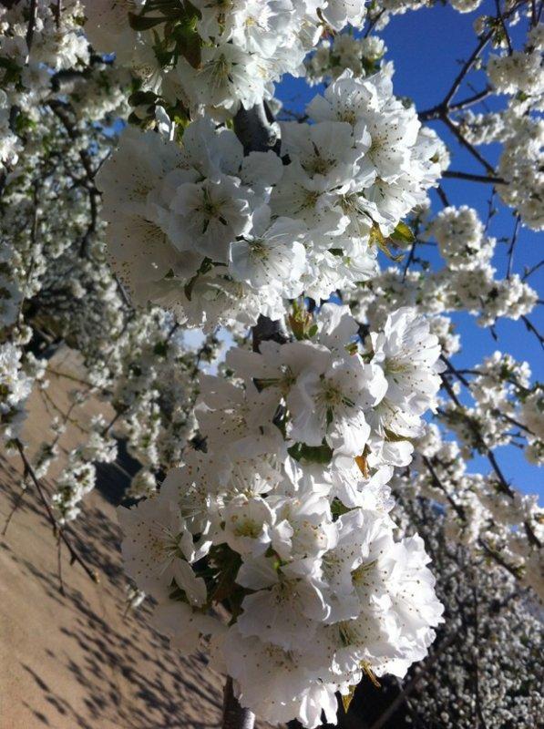 Cerezo en flor (Valle del Jerte)