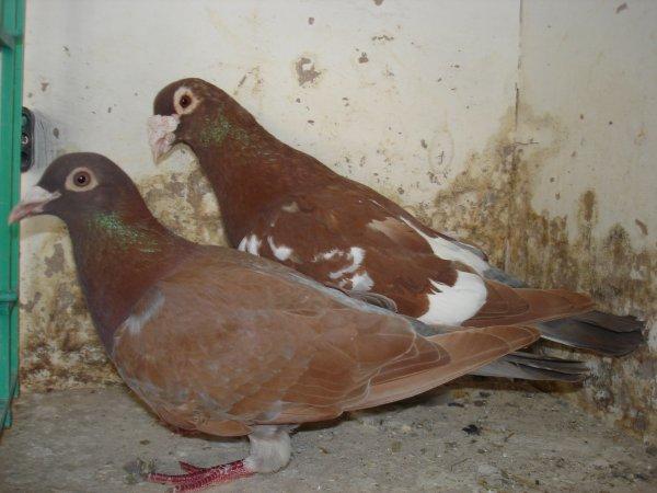 vends pigeons voyageurs