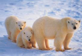 1-L'ours blanc