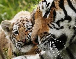 4-Le tigre