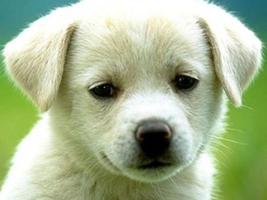 Petit  Labrador