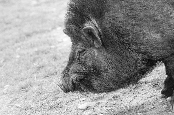 Mr Le porc