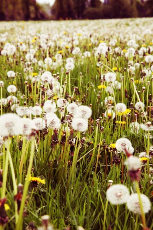 fields and dandelion