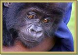 Gorilles dans la brume