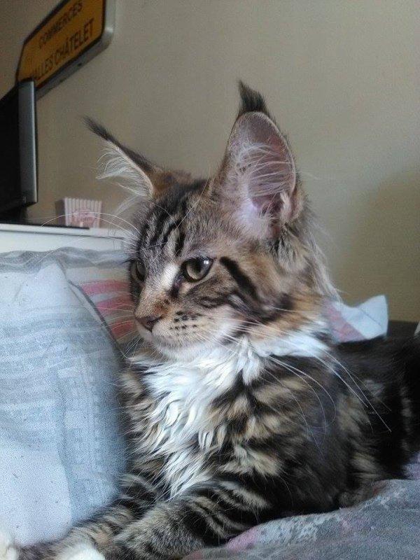 Manon mon lynx