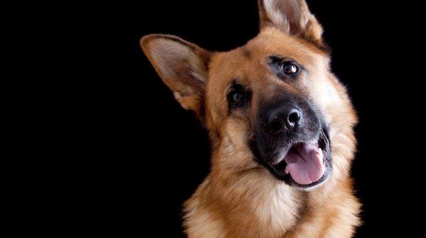 Un chien sauve son maître d'un incendie, mais meurt dans les flammes