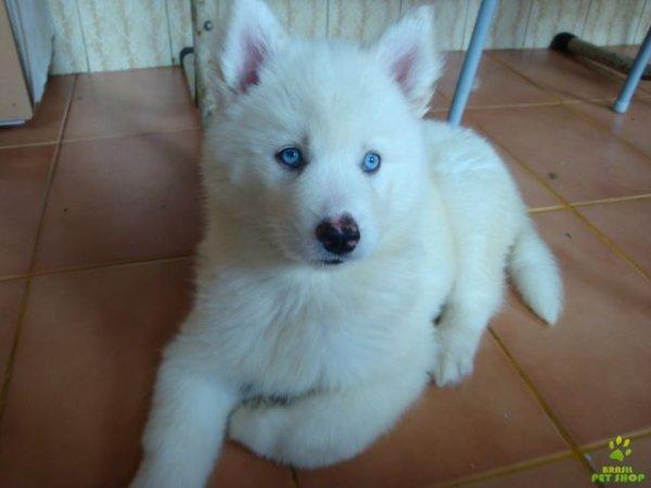 Bien-aimé Chiot Husky blanc - Blog de chien-yeux-bleu LA37