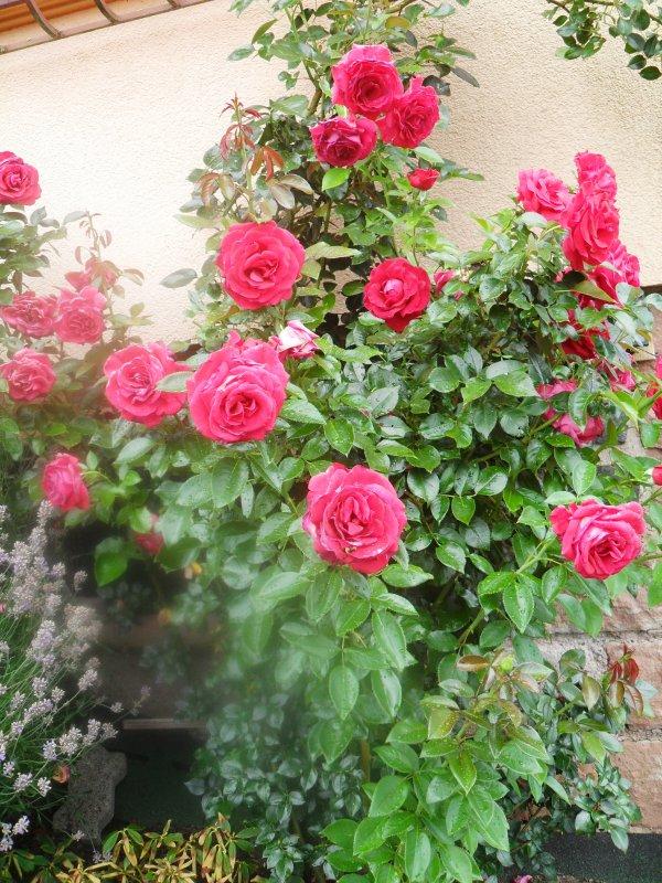 Quelques photos de Roses qui commencent à souffrir de la canicule...