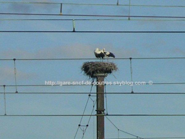 Cigognes dans leur nid au-dessus du triage de Coutras