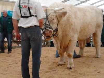 concour charolais au lycee agricole de rethel (cowboys 1 560KG)