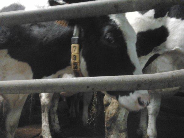 traite de 58 vaches pri'm hoschtein au lycee agricole de rethel