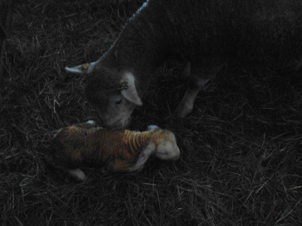brebi avec sont agneau