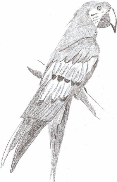 Mes meilleurs dessins - Ara rouge  (Ara macao)