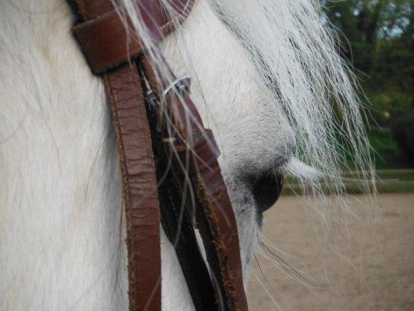 """""""Je demande aux cavaliers qui me lisent et qui dressent leurs chevaux, de regarder leur monture lorsqu'ils mettent pied-à-terre après une séance de travail, de contempler son ½il, et de faire un examen de conscience, pour se demander s'ils ont bien agi envers cet extraordinaire être vivant, ce compagnon adorable : le cheval"""""""