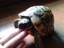 Photos et information sur ma tortue, Basilic!