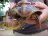 Tortue Hermann ou tortue Grecque ?
