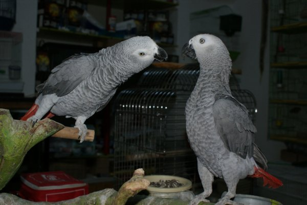 couple gris du gabon