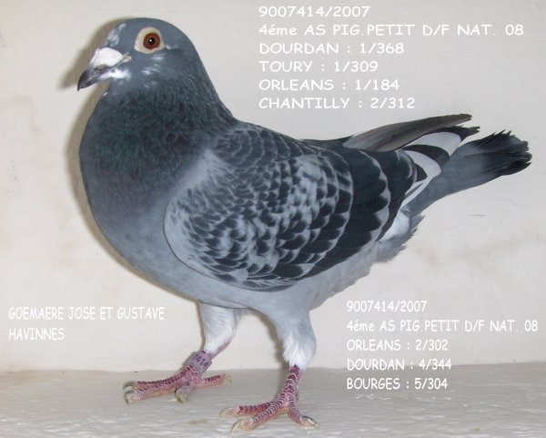 photo du 4éme as pigeon demi-fond 2008 national