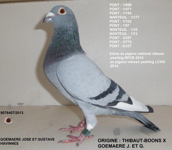 as pigeons