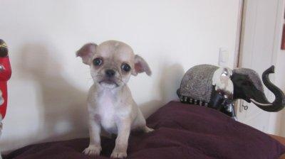 Gaspard ,petit mâle de couleur beige bleuté, très mimi ! lof 1300 euro
