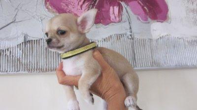 Gaspard ,petit mâle de couleur beige bleuté, très mimi ! lof 1100 euro Pour compagnie !
