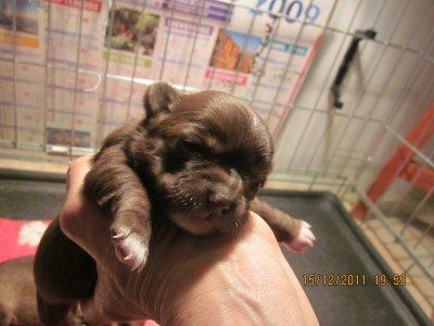 Bébés de Foxy, nés le 1 décembre 2011 lof! Disponible femelle chocolat (poil court) lof et deux mâles avec truffe chocolat(poil court et long). Poid standard !