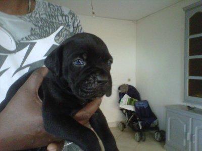 goliath a 1 mois pure cane corso