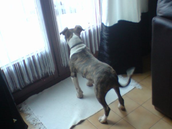 voici falco fils de ma chienne charon'z tipit et paky's barryo champion suisse 2010