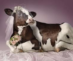 ma vache <3